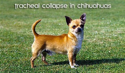 breathing problems in dogs 17 best images about chihuahua photos on chihuahuas carrier and