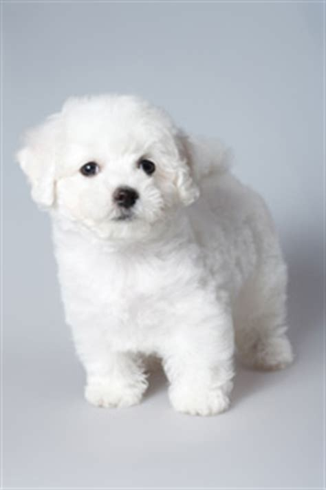 teacup havanese dogs teacup havanese small breed dogs