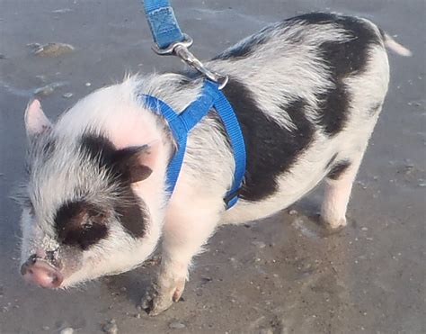 gallery for gt full grown miniature pot belly pigs