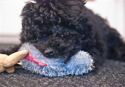 puli puppies for sale puli puppies for sale akc puppyfinder