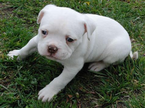 american puppies the american bulldog