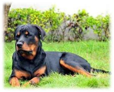 rottweiler with docked rottweiler tails as laws change breed standards are changing with them