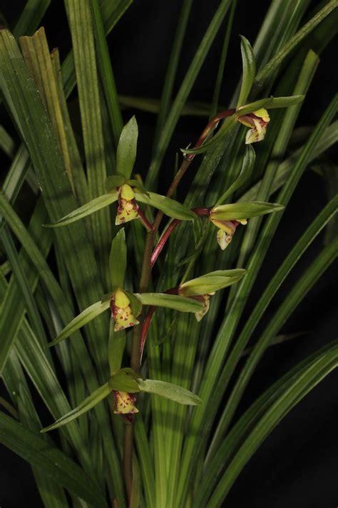 Dendro Hibiki thanh lan cymbium cyperifolium v豌盻拵 hoa lan