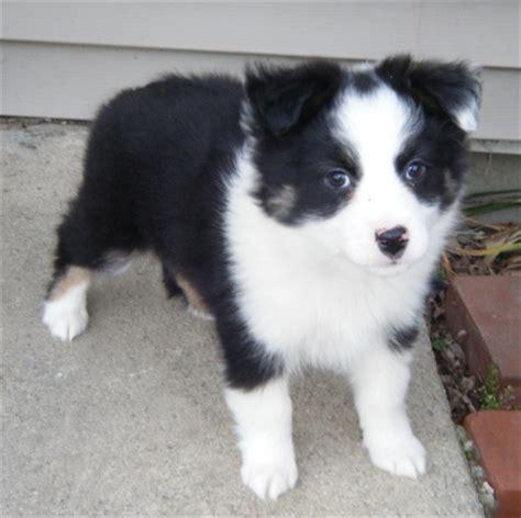 undocked australian shepherd puppies for sale 17 best ideas about mini aussie shepherd on mini aussie aussie puppies