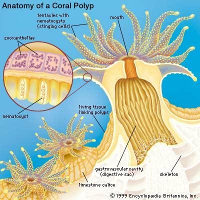 coral bleaching diagram coral reefs geo for cxc
