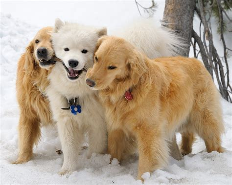 three dogs could there be anything more cuddly than three haired dogs let it snow these