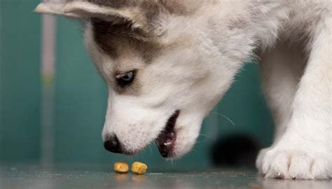 best food for huskies best food for huskies what to feed huskies for best health top tips