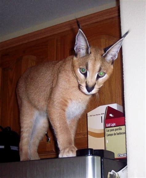 pet r rexano big cat feline gallery pet caracal