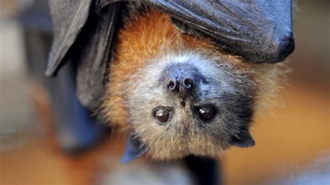 not in my backyard how to live alongside flying foxes in
