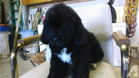 newfoundland puppies oregon purebred newfoundland puppies for sale in monmouth oregon classified americanlisted