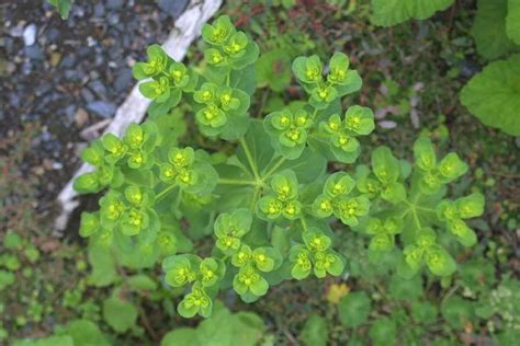 painted spurge scientific name euphorbia helioscopia