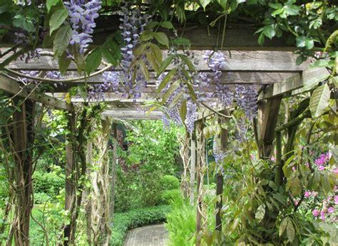 blauwe regen snoeien zomer welke klimplanten zijn geschikt voor een pergola