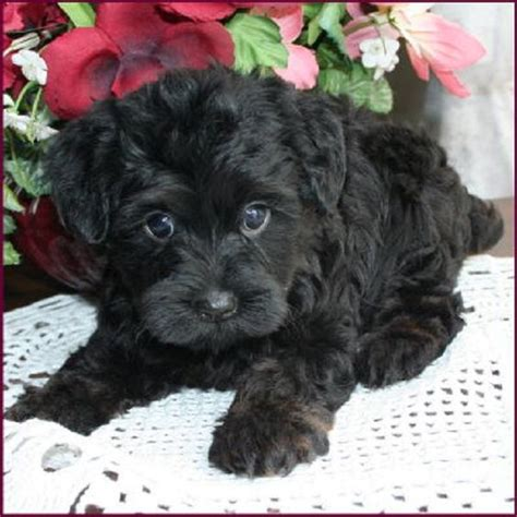 yorkie doodle puppies for sale the world s catalog of ideas
