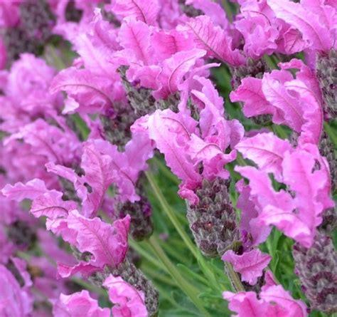 Lavender Pink plant royalty the princess lavender gardendrum