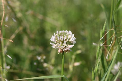 Clover Blue White by White Clover Trifolium Repens 183 Msu Plant And Pest