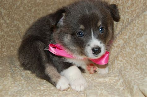 pomsky puppies for adoption pomsky puppies for adoption quotes