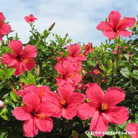 Bunga Hibiscus Scarlet 8 kemegahan bermuda hibiscus pictures
