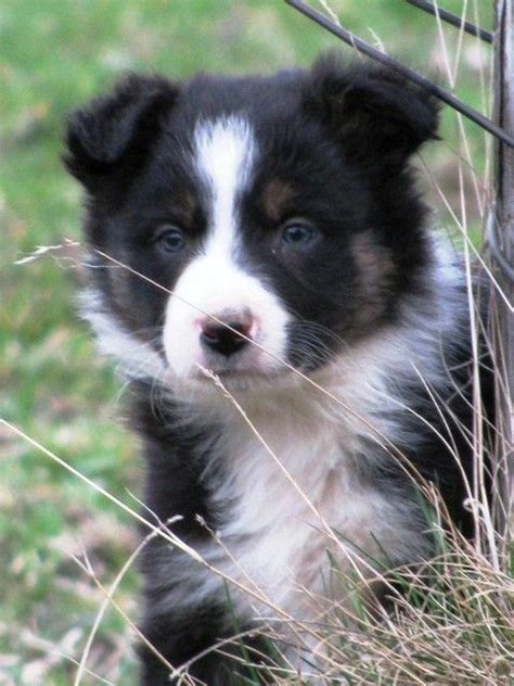 border collie puppies for sale in michigan 1000 images about doggies on border collies corgis and australian