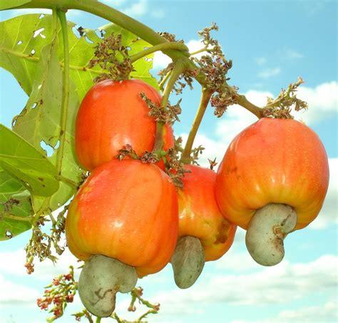 cashew nut fruit tree cashews the nut of the always