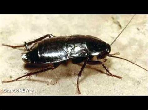 scarafaggio volante eliminare scarafaggi tutte le offerte cascare a fagiolo