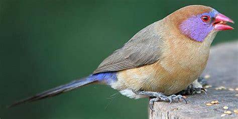 uccelli esotici da gabbia uccelli da gabbia granatino