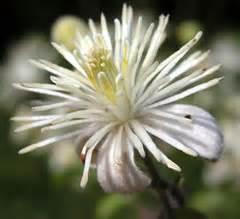 clematis fiore di bach i fiori di bach immagini dei 38 fiori di bach