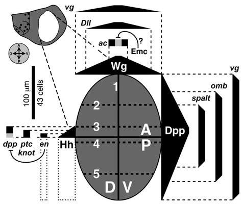 wg pattern formation figure 6 3