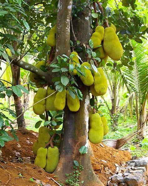 Bibit Nangka Sayur cara budidaya tanaman buah nangka untuk tumbuh dengan baik