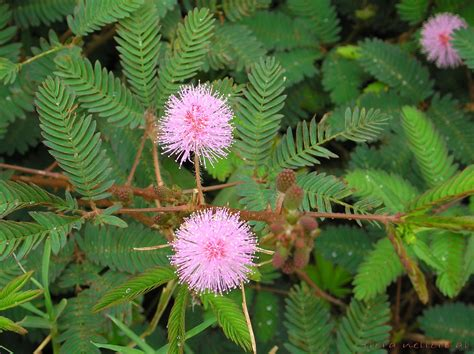 Touch Me L by File Mimosa Pudica L Touch Me Not Plant Flickr