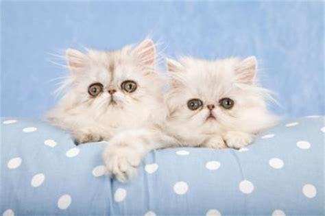 Chinchilla Persian Cats   LoveToKnow