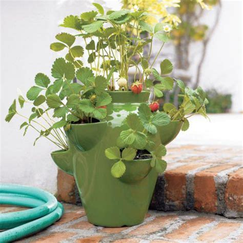 container strawberry gardening growing strawberries in containers my garden of
