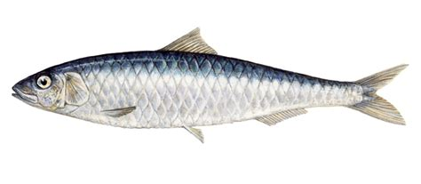 cucinare sardine sardine wwf seafood guide indicazioni per un consumo