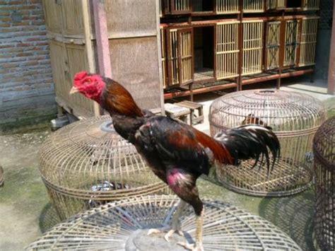 Vitamin Ayam Bangkok Petelur tips dan manfaat menjemur ayam bangkok ayam bangkok
