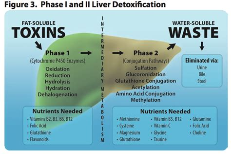 Human Detox System by Liver Detox How To Support Liver