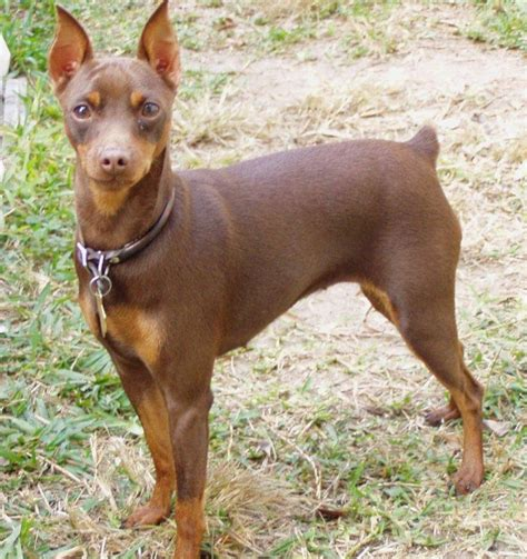 mini pinscher pin miniature pinscher on