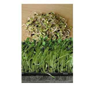 black sunflower seeds for sprouting uk sprouting seed sunflower black seeded