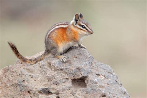 Yellow-Pine Chipmunk 1