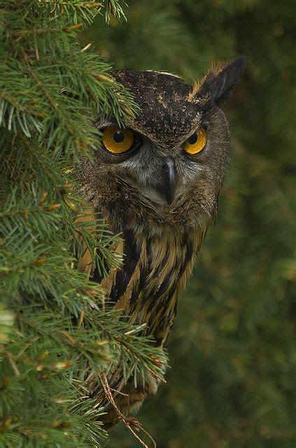 95 Best Owl Images On Animal - best 25 owl ideas on beautiful owl owls