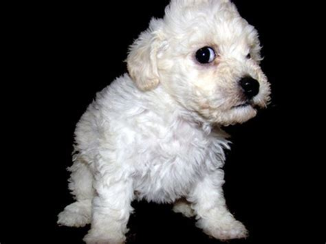poodles puppies how to care for poodle puppy pets