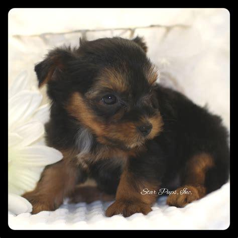 all black yorkie terrier f black sold pups