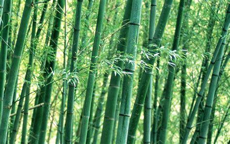 imagenes bambu japones zh 249 竹 el bamb 218 maria eugenia manrique