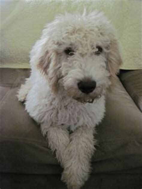 sheep doodle puppy f1 standard goldendoodle puppies for sale poodle crossed with golden retriever