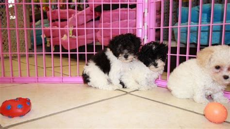 poodle puppies for sale in ga teacup poodle puppies for sale in dogs in our photo