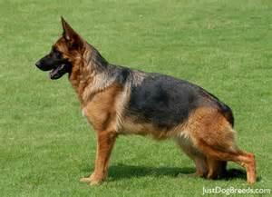 Com photos dog breeds german shepherd dog german shepherd dog2