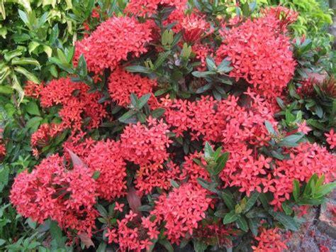 Tanaman Asoka India khasiat bunga asoka untuk kesehatan artikel kesehatan kesekolah