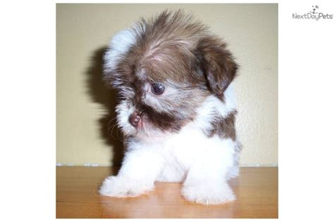 havanese mini mini havanese puppies for sale breeds picture