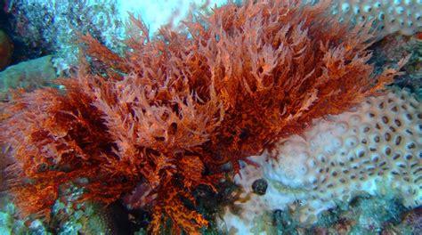 imagenes de algas pardas verdes y rojas algas rojas caracter 237 sticas tipos propiedades y m 225 s