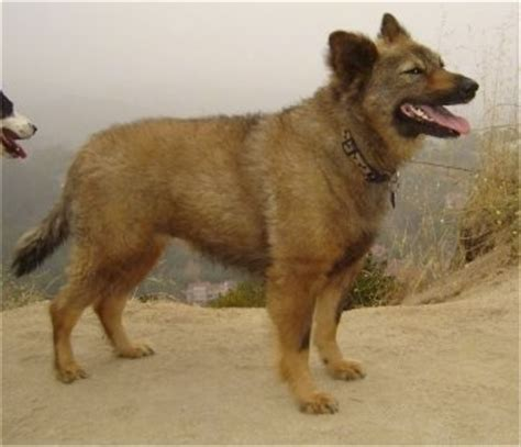 are coyotes dogs coydog information and pictures