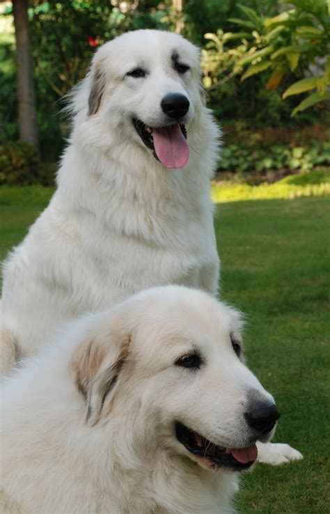 pictures of great pyrenees puppies beautiful great pyrenees dogs photo and wallpaper beautiful beautiful great pyrenees
