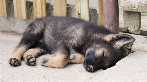 gsd puppies german shepherd puppies who will melt your